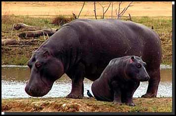 It turns out in the real world, hippos fucking kill people.